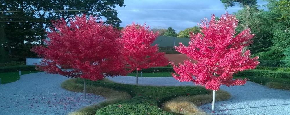 roze-bomen